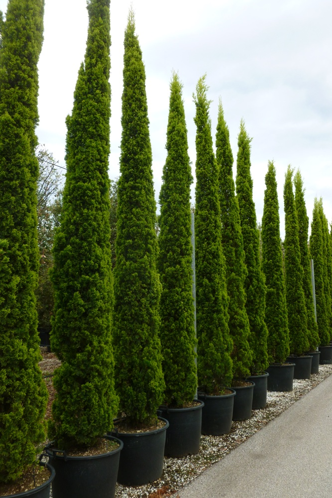 cupressus sempervirens pyramidalis verte ligne p pini re. Black Bedroom Furniture Sets. Home Design Ideas